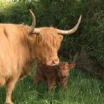 Pedigree Highland Cattle - Doodale Highlanders - The Doodales
