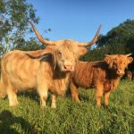 Our majestic Highland Cattle