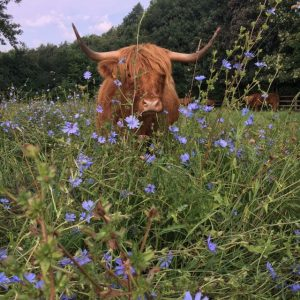 Highland Cow in Herbal Ley